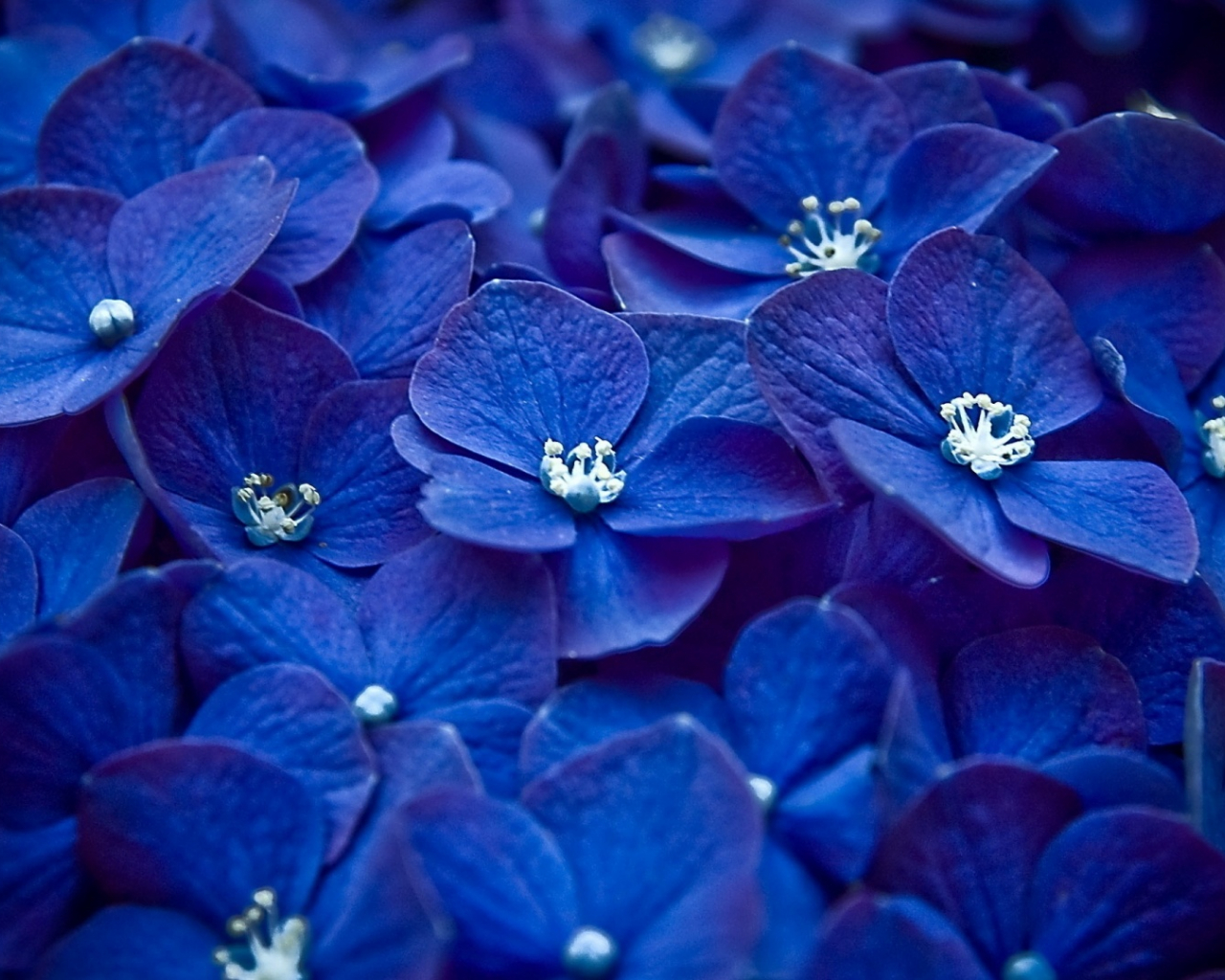 Free Download Blue Flowers Hd Wallpapers For Tumblr Hd