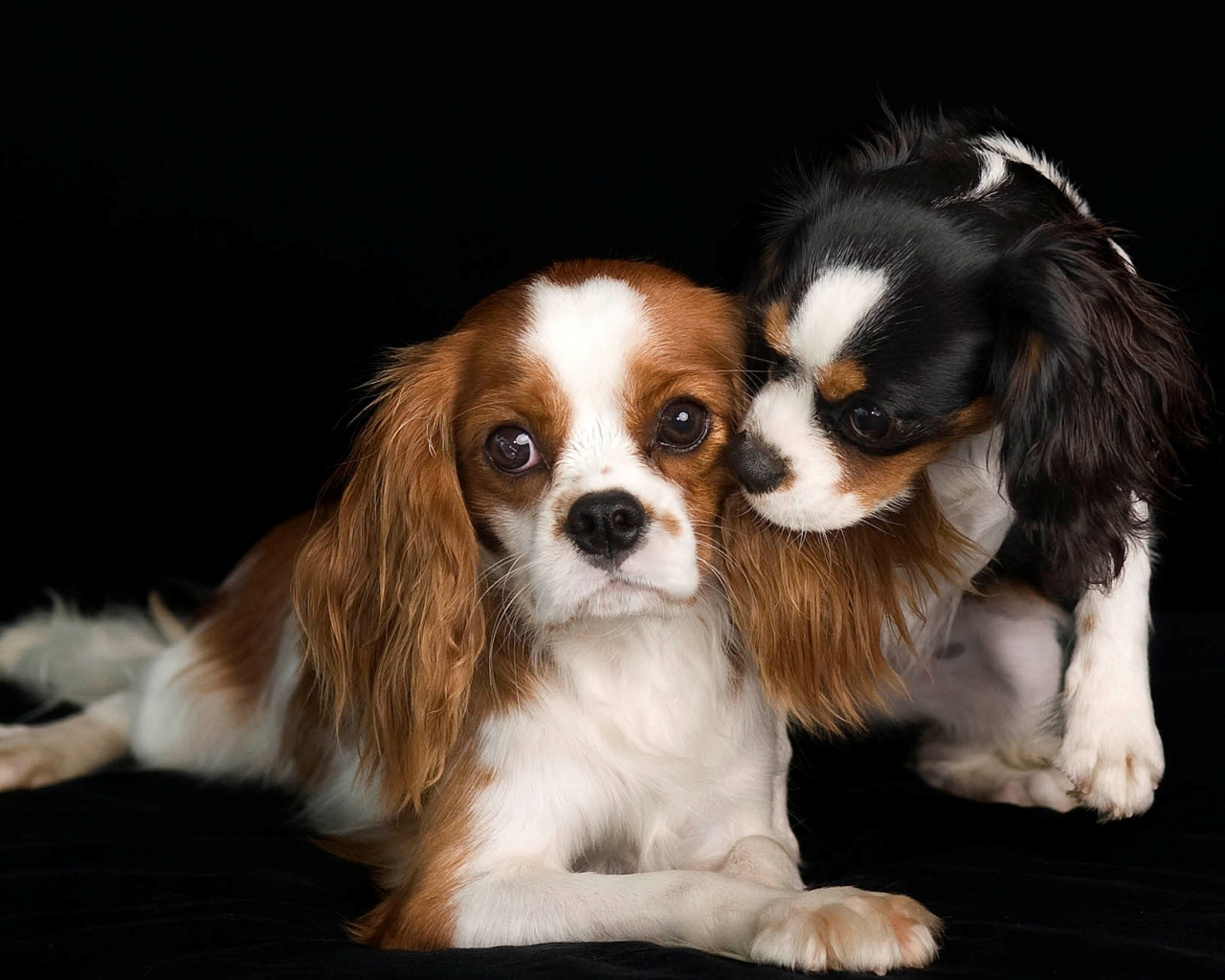 Free Download Lovely Cavalier King Charles Spaniel Dogs Photo And
