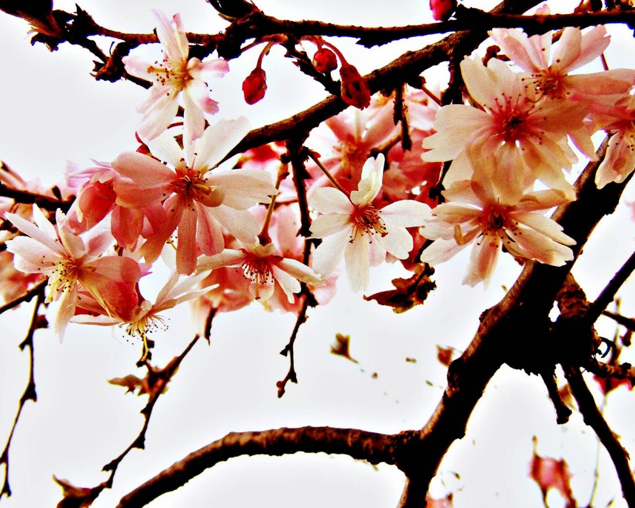 free download gambar wallpaper bunga sakura jepang cantik