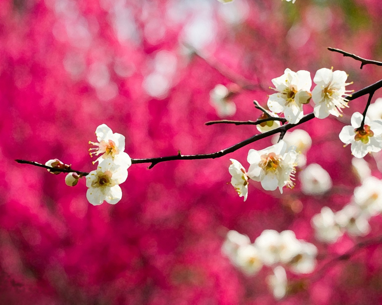 Free download Sakura Cherry Blossom Hd Desktop Wallpaper ...