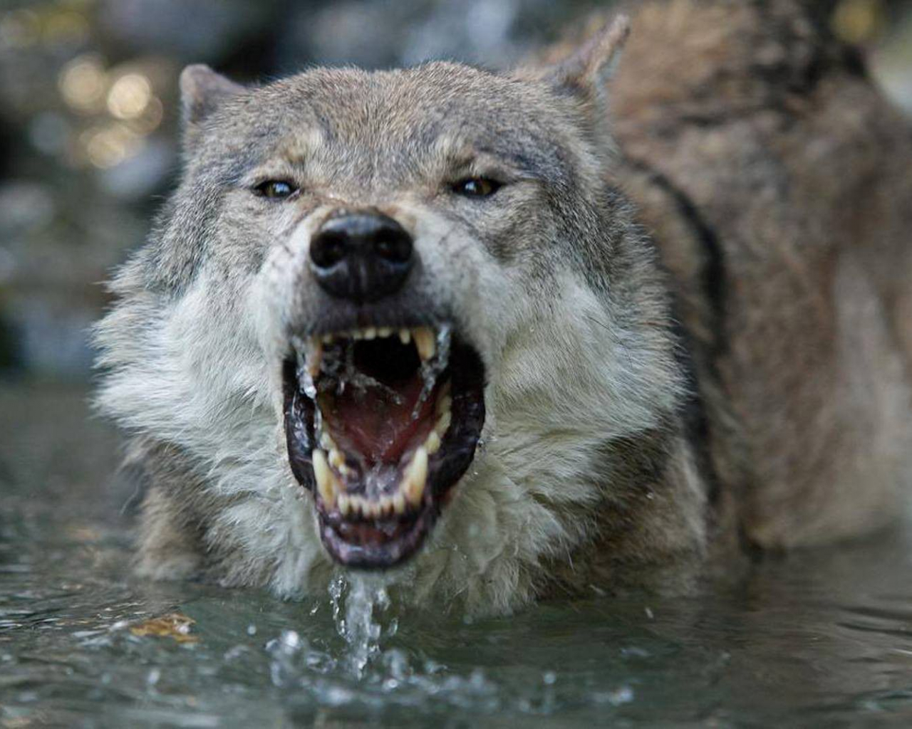 Free Download Angry Wolves Wallpaper Wolves Animals 37
