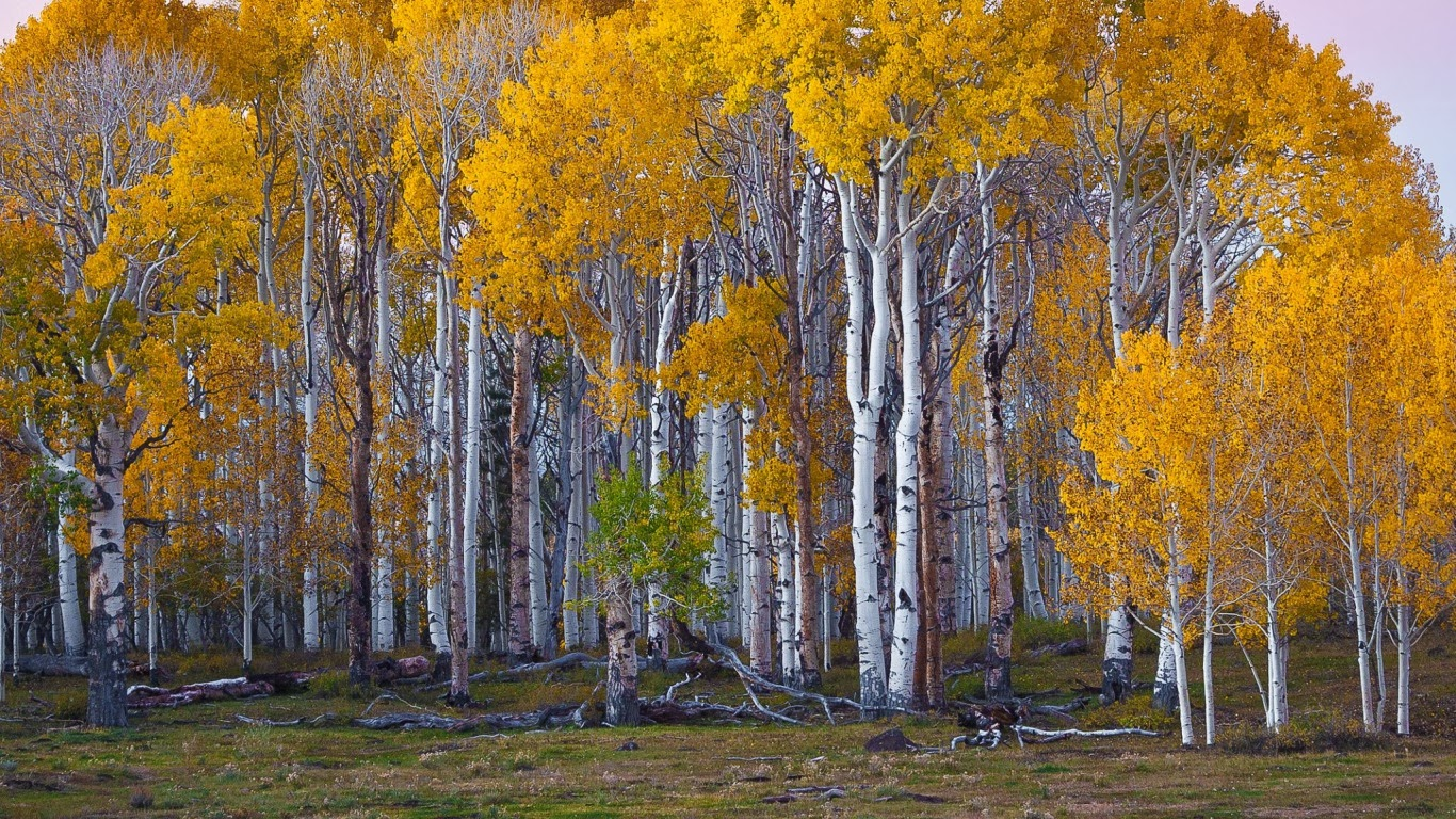 Resolution 1366x768 Image Info Html Code Plantwerkz Blo Co Nz Le Silver Birch Tree Betula Pendula