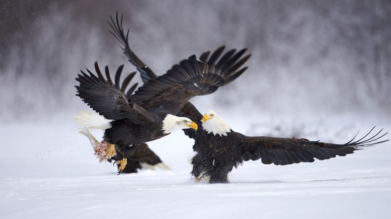 Free download HD Eagles Wallpapers and Photos HD Animals ...