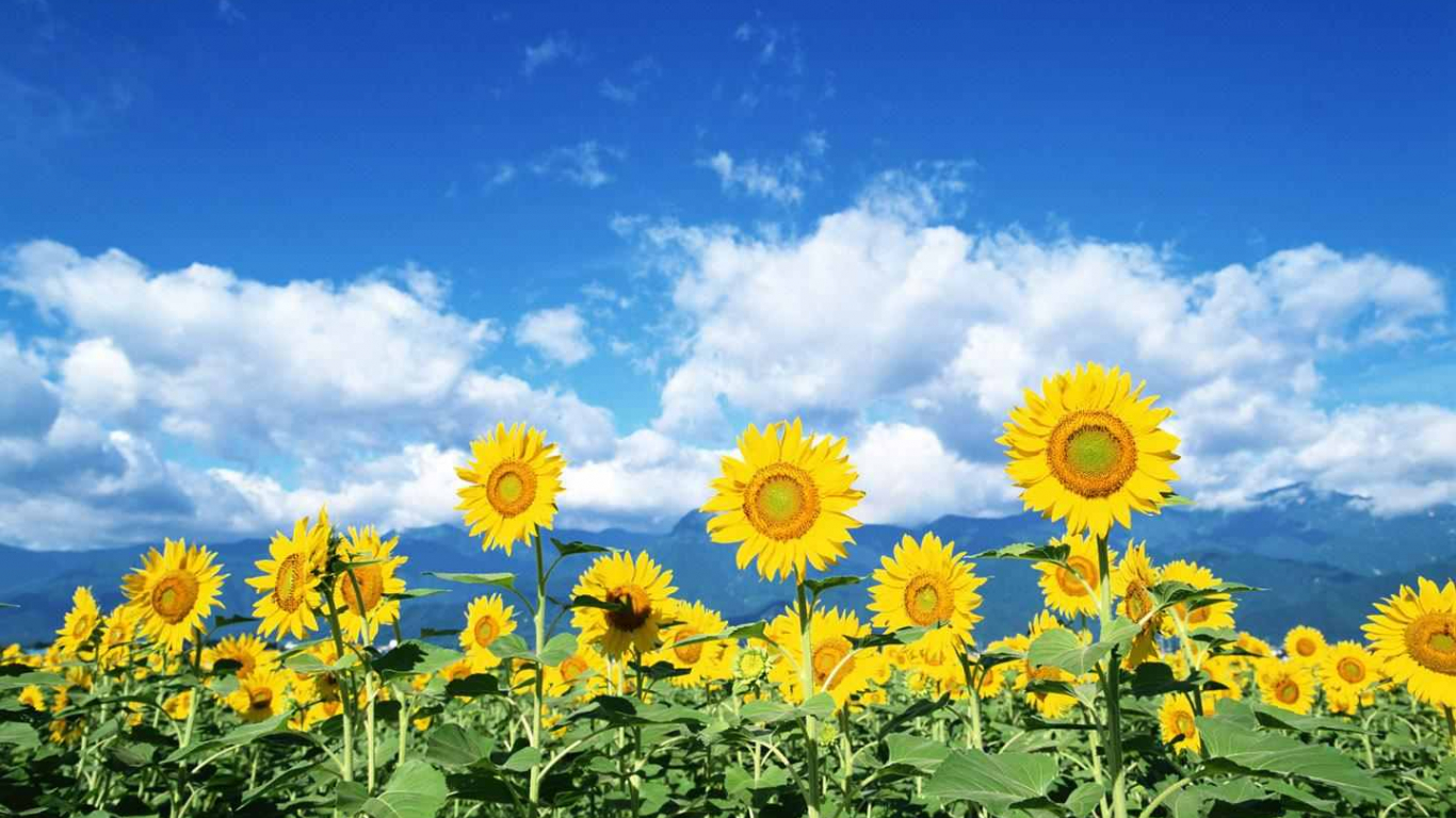 Free Download Sunflower Field Wallpaper Desktop Galleryhipcom The 1440x900 For Your Desktop Mobile Tablet Explore 74 Sunflower Desktop Wallpaper Free Wallpaper Sunflowers