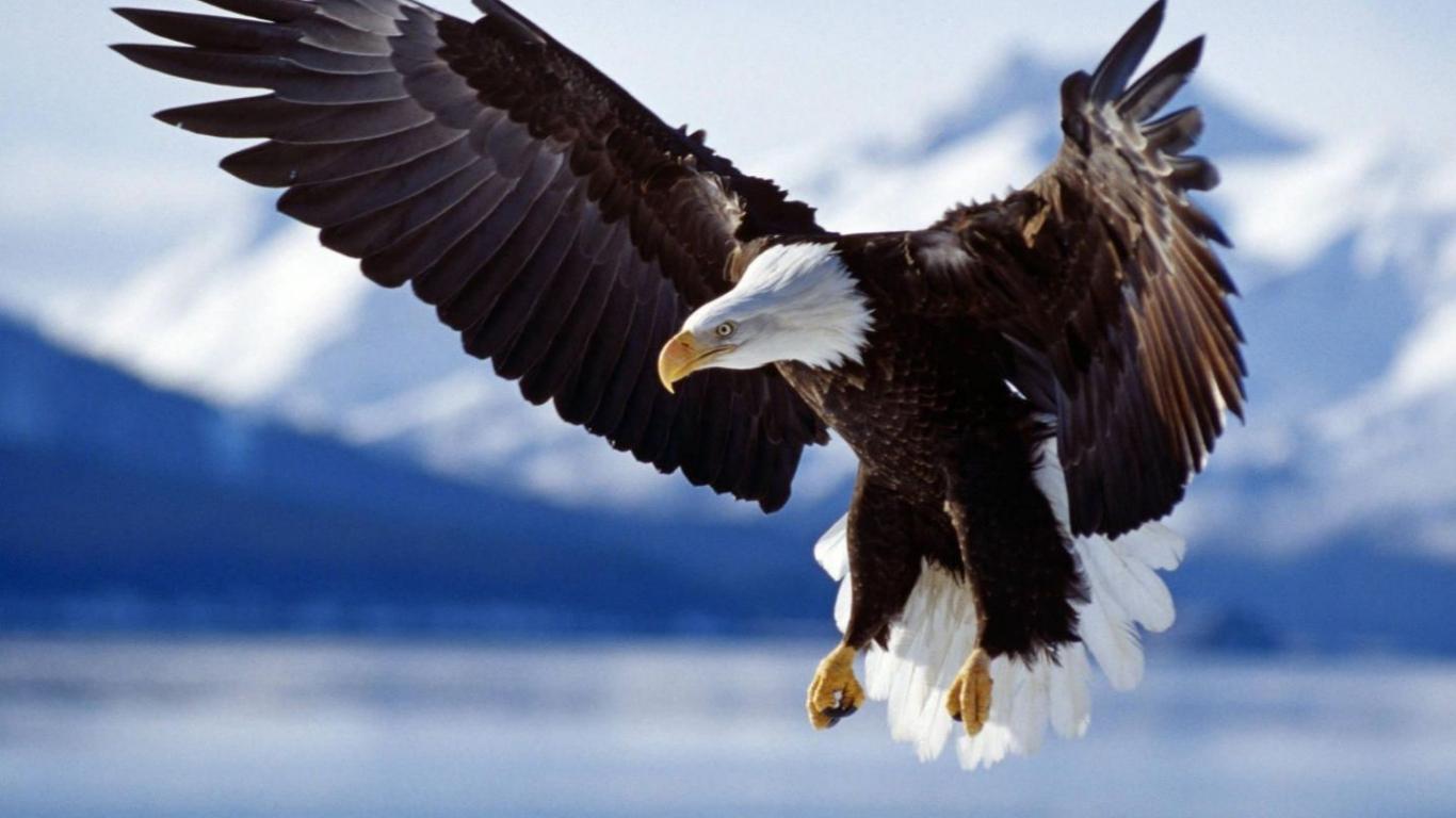 Free download Animals Bald Eagle desktop wallpaper nr 20 ...