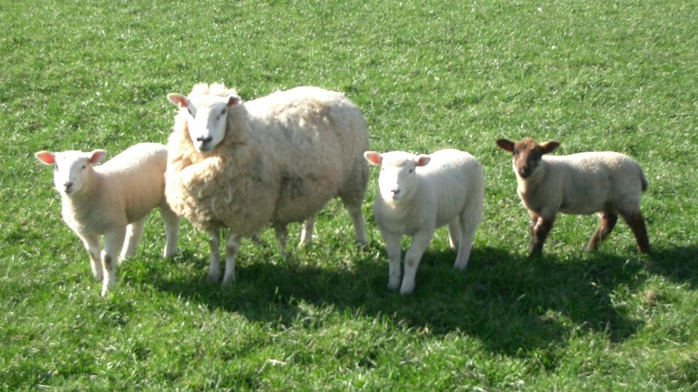 Free Download Sheep Wallpaper 1 You Are Viewing The Sheep Wallpaper Named Sheep 1 It 1600x1200 For Your Desktop Mobile Tablet Explore 46 Lamb Wallpaper Lamb Of God Wallpaper