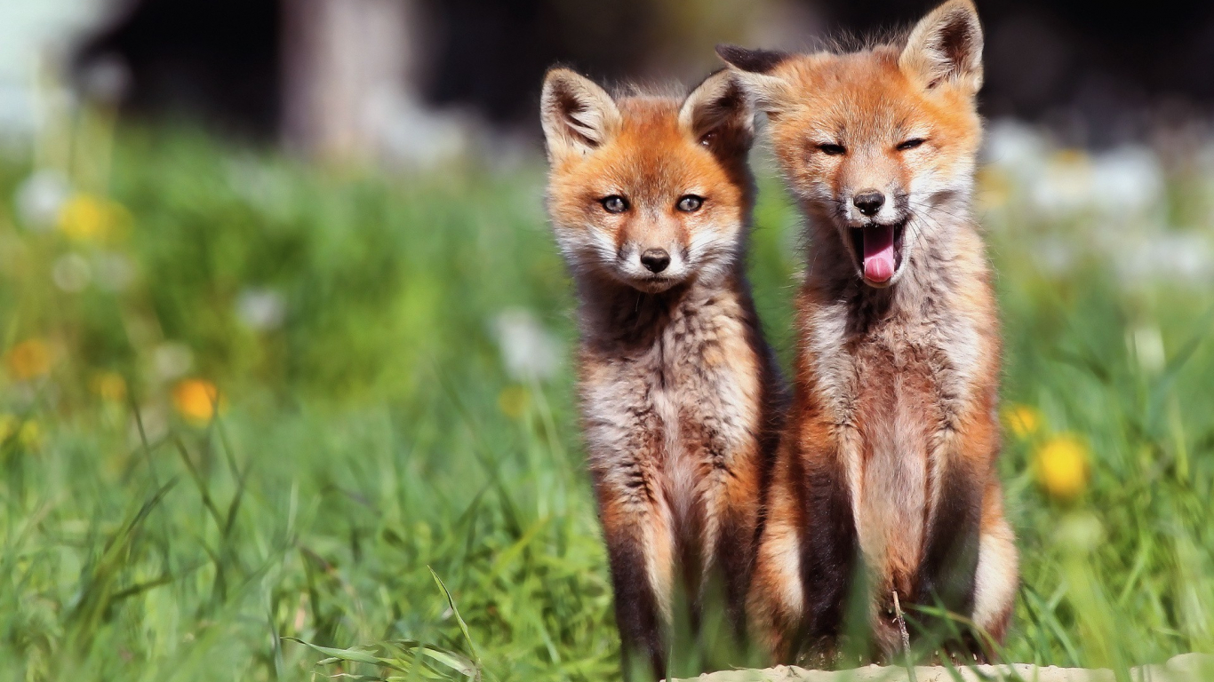 Free download Animals baby animals foxes wallpaper ...