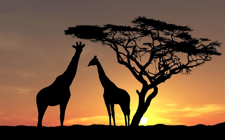 Free Download Hd Giraffes Wallpaper With Giraffes At Sundown Wallpapers Backgrounds 1600x1000 For Your Desktop Mobile Tablet Explore 75 Giraffe Backgrounds Giraffe Wallpaper Baby Giraffe Wallpaper