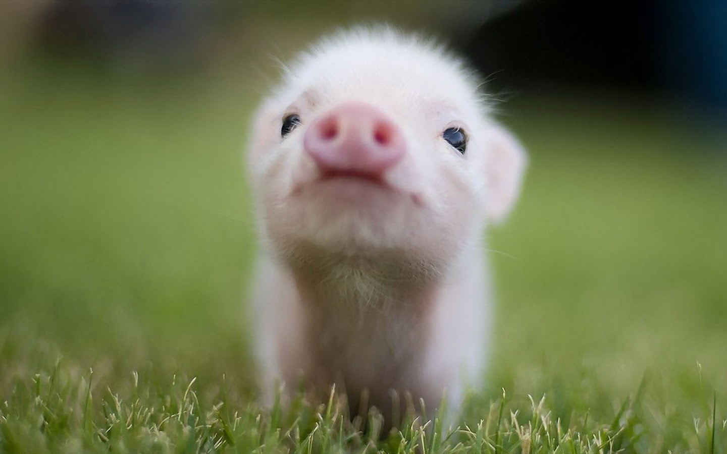 Free download Cute Baby Pigs 11278 Hd Wallpapers in ...