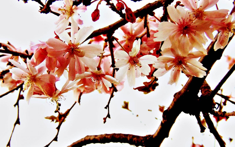 Free Download Gambar Wallpaper Bunga Sakura Jepang Cantik Kata Kata 2016 1600x1200 For Your Desktop Mobile Tablet Explore 50 Gambar Wallpaper Cantik Gambar Wallpaper Cantik Gambar Wallpaper Islam Gambar Wallpaper Lucu