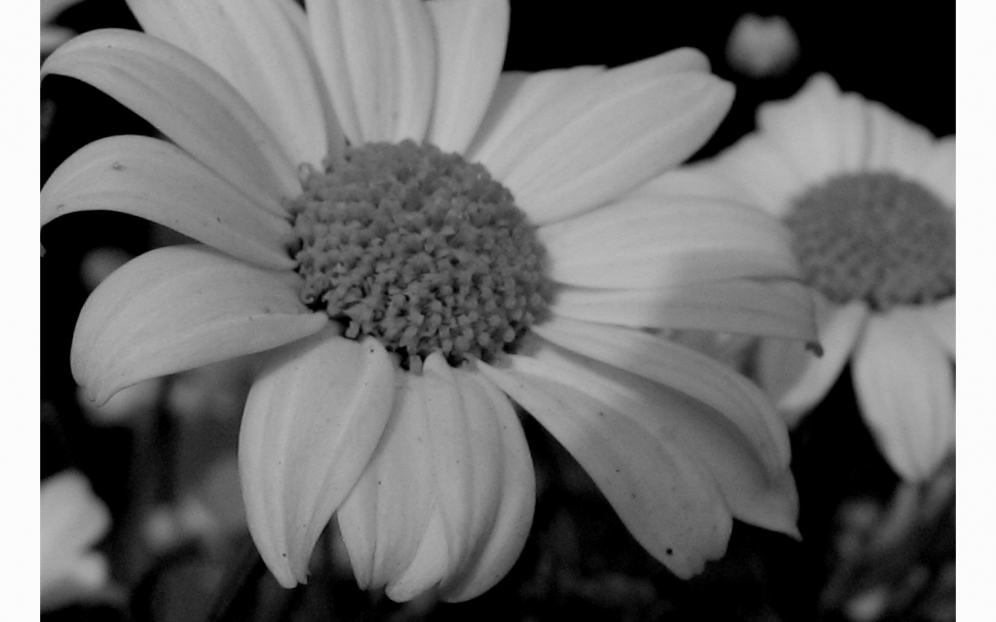 Free Download Daisy Black And White 21896 Hd Wallpapers In Flowers