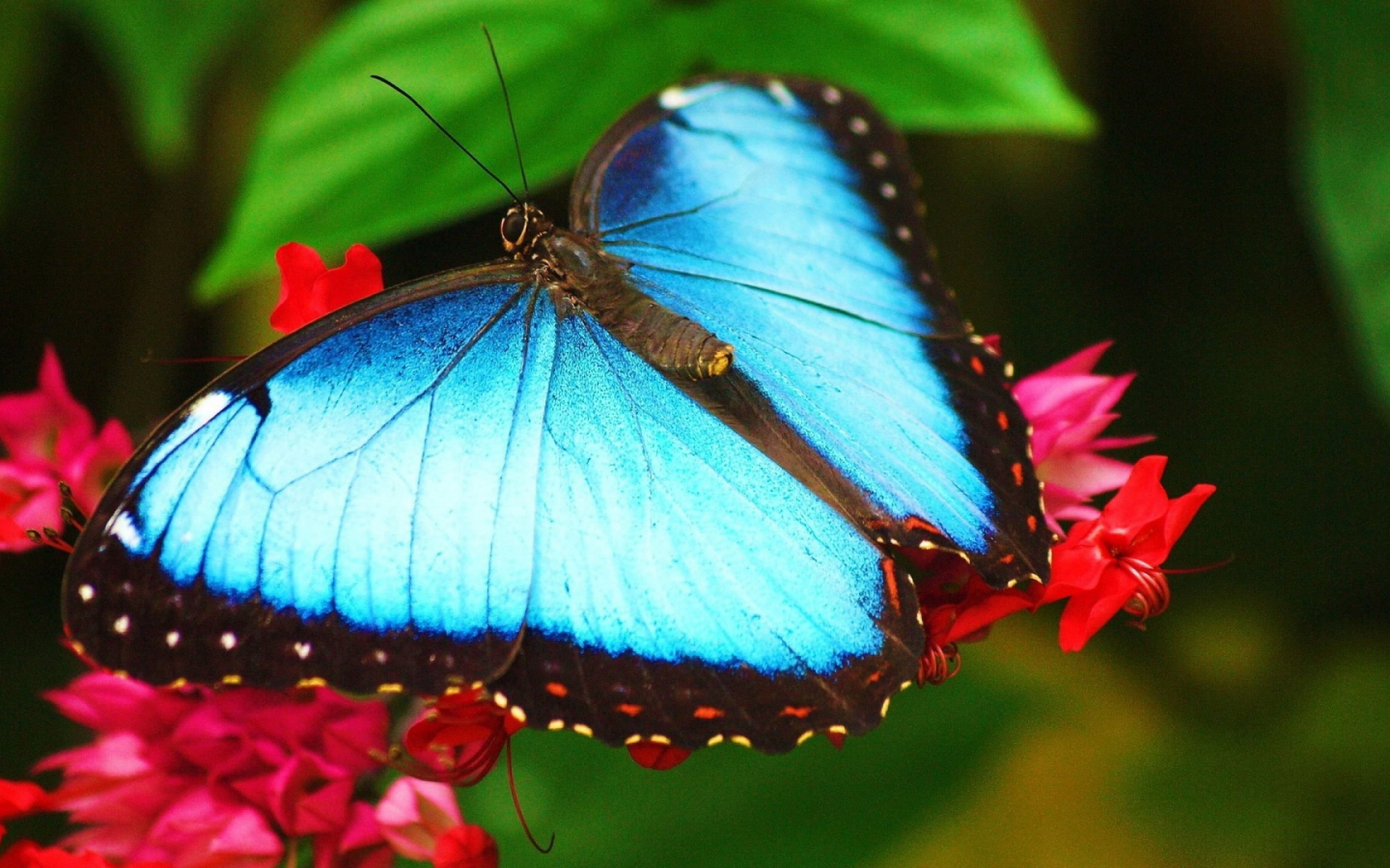 Free download wallpapers beautiful butterfly blue ...