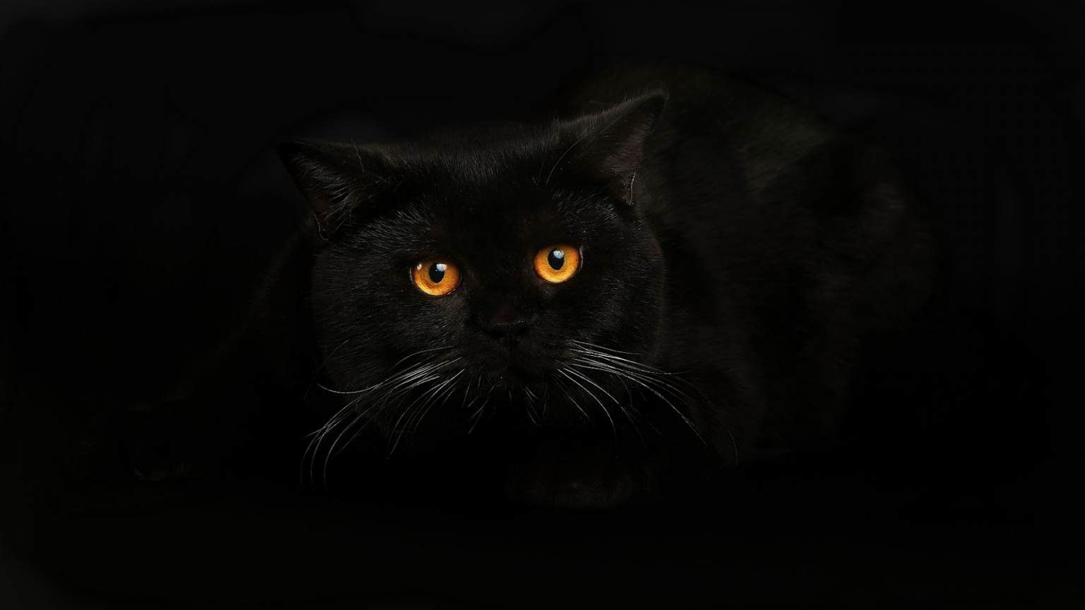 Free Download Black Cat Wallpaper Best Hd Wallpapers 1600x900