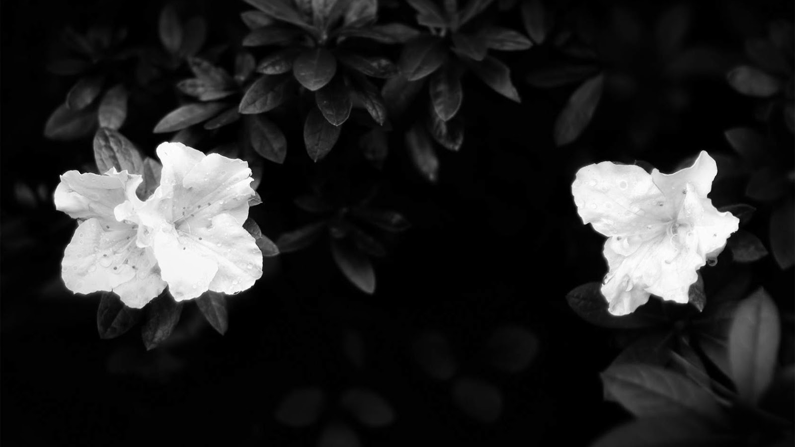 Free Download And White Wallpapers White Flowers On Black