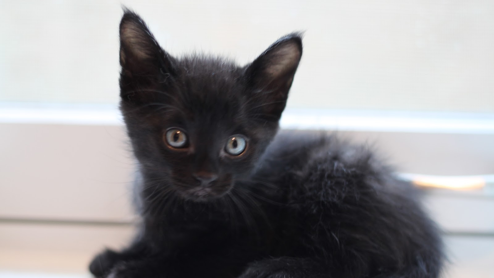 Free Download Black Kitten Wallpaper Wallpaper Black Kitten Wallpaper Hd Wallpaper 1600x1067 For Your Desktop Mobile Tablet Explore 45 Black Kitten Wallpaper Cute Kitten Pictures Wallpaper Kitten Wallpaper Black