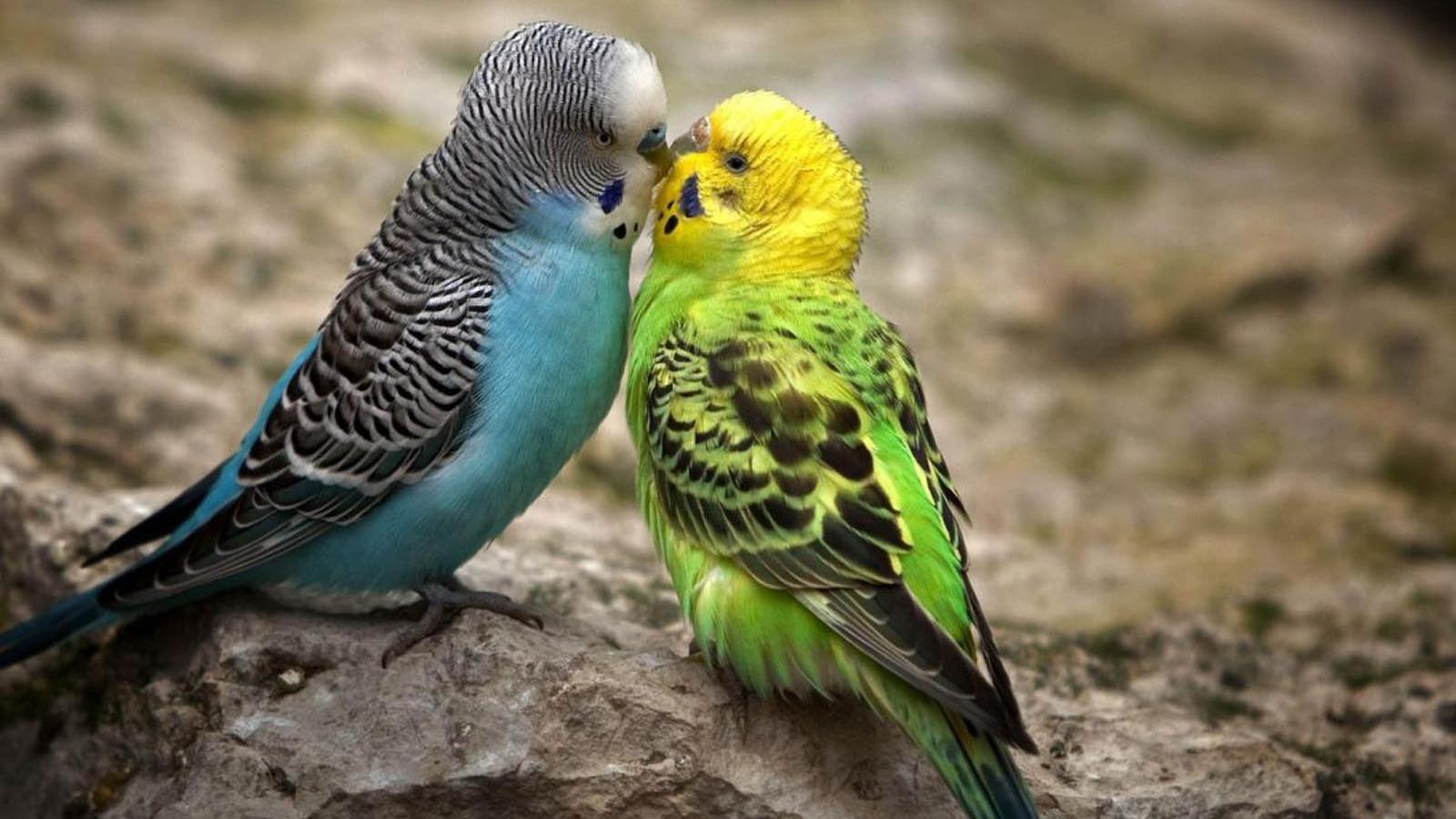 Free Gambar Burung Lucu Ciuman Wallpaper Burung