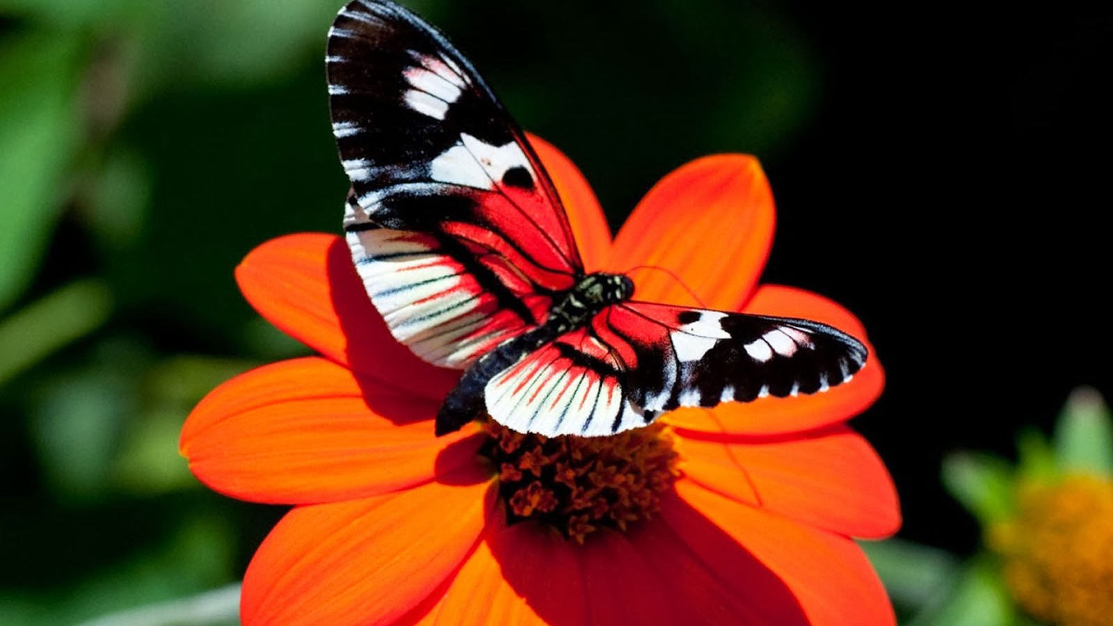 Free Download Tag Butterfly Desktop Backgrounds Wallpapers Photosimages And 1600x1200 For Your Desktop Mobile Tablet Explore 46 Free Desktop Wallpaper Butterflies Flowers Butterfly Wallpapers For Laptop Butterflies And Flowers Wallpaper