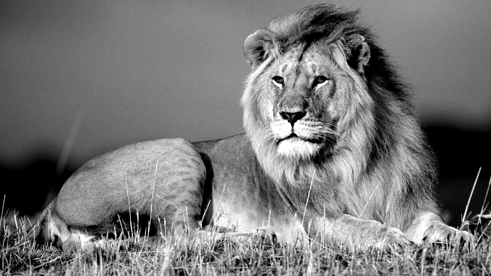 Free Download Jungle King Lion Wallpapers Black And White Photography 1600x954 For Your Desktop Mobile Tablet Explore 43 Black And White Lion Wallpaper White Lion Wallpaper Desktop Beautiful White