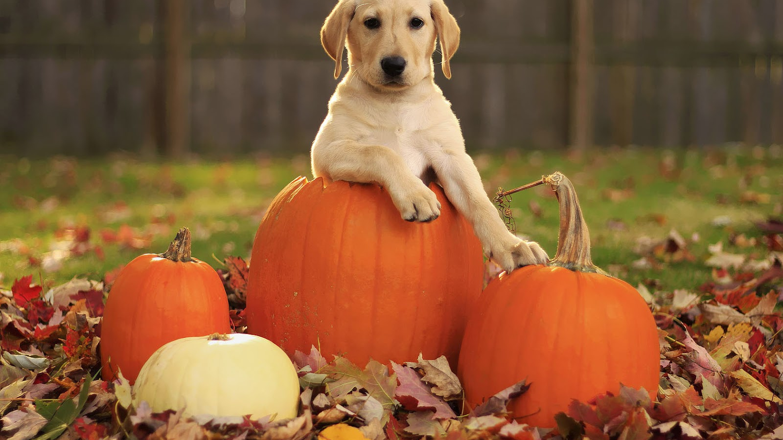 Free Download Autumn Wallpaper With A Dog In A Halloween Pumpkin Hd Dog Background 1600x1000 For Your Desktop Mobile Tablet Explore 39 Fall Wallpaper With Animals Funny Animal Wallpapers