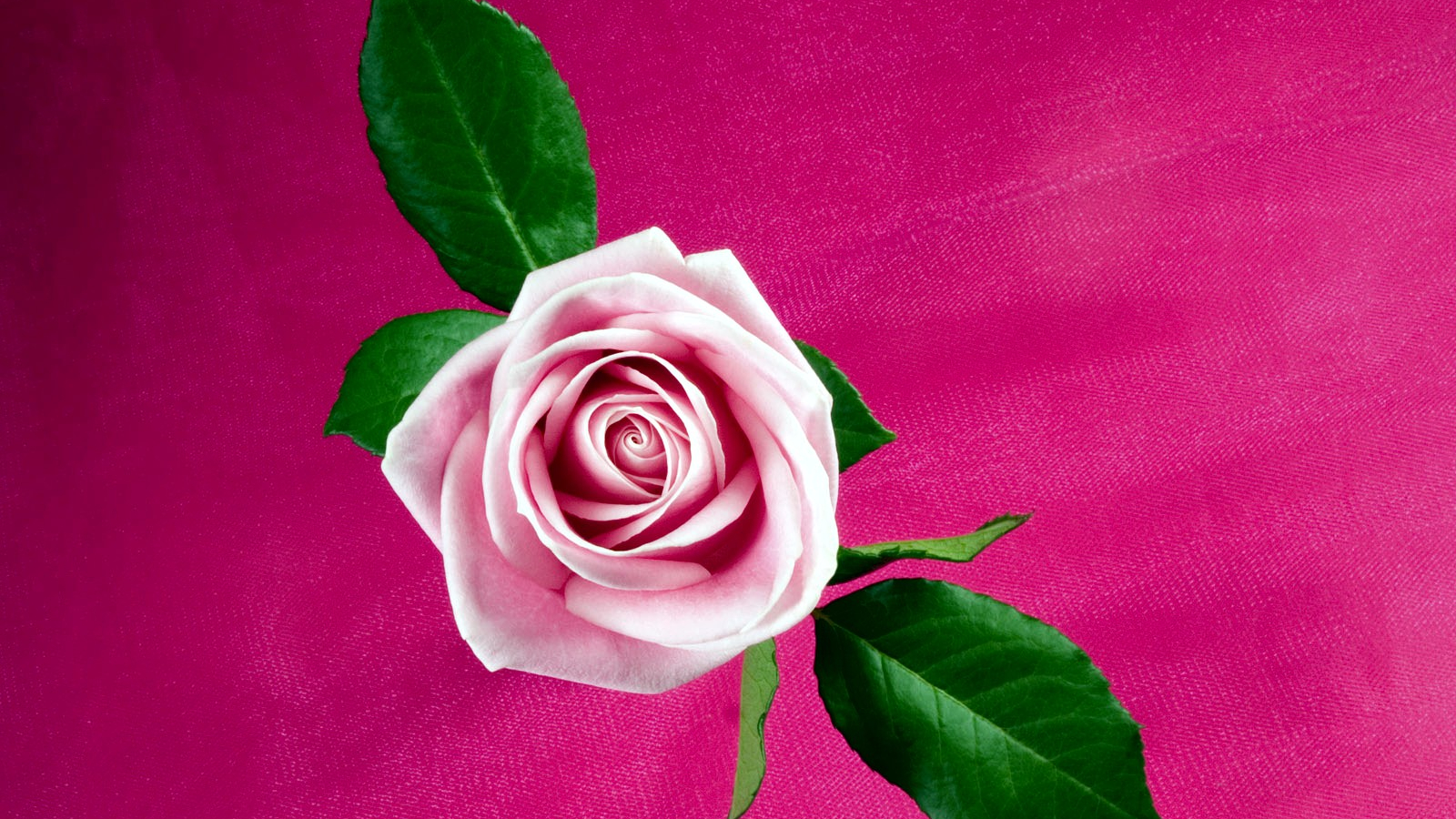 Free Download Cool Pink Rose Love Hd Photo Wallpapers Fullsize