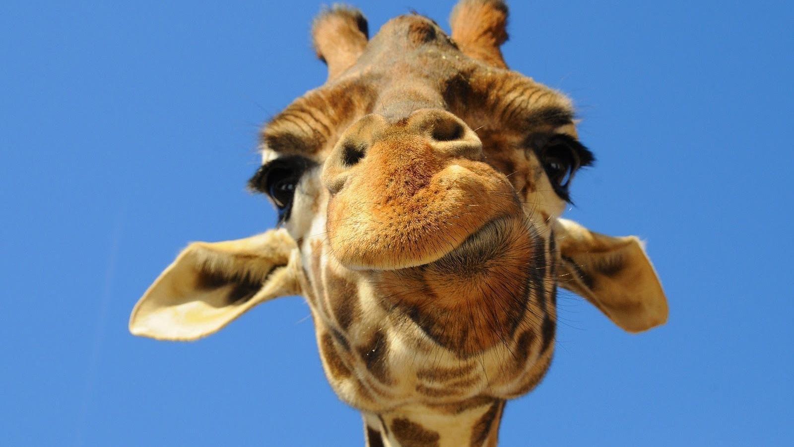 free giraffe wallpapers tallest animal giraffe
