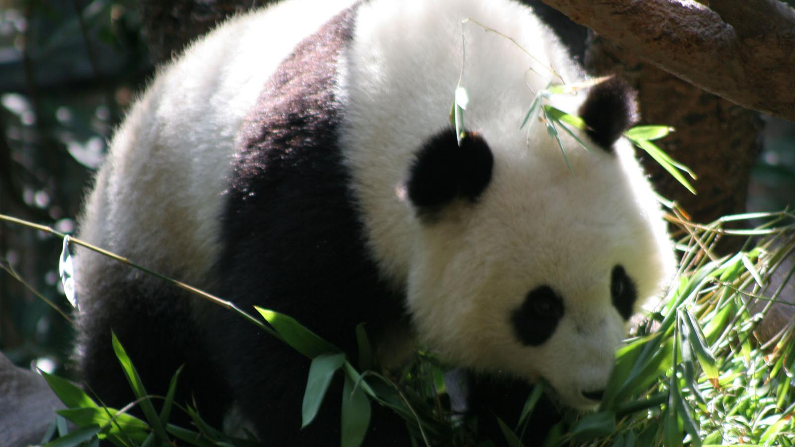 Free download Panda Bear Wallpaper HD