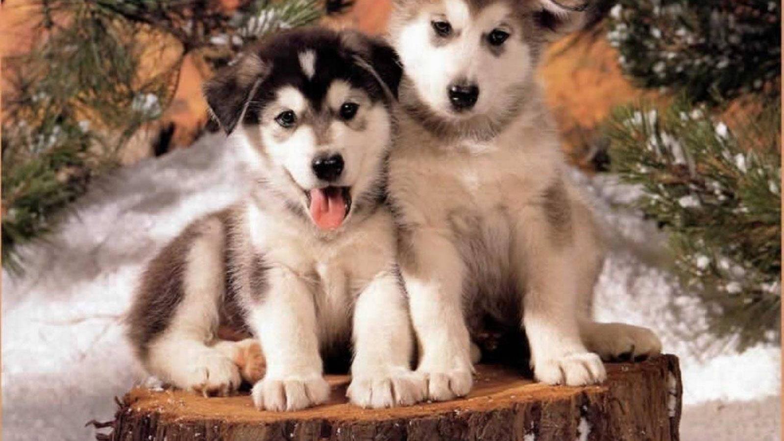 Cutest Puppy Husky Goldenacresdogs Com