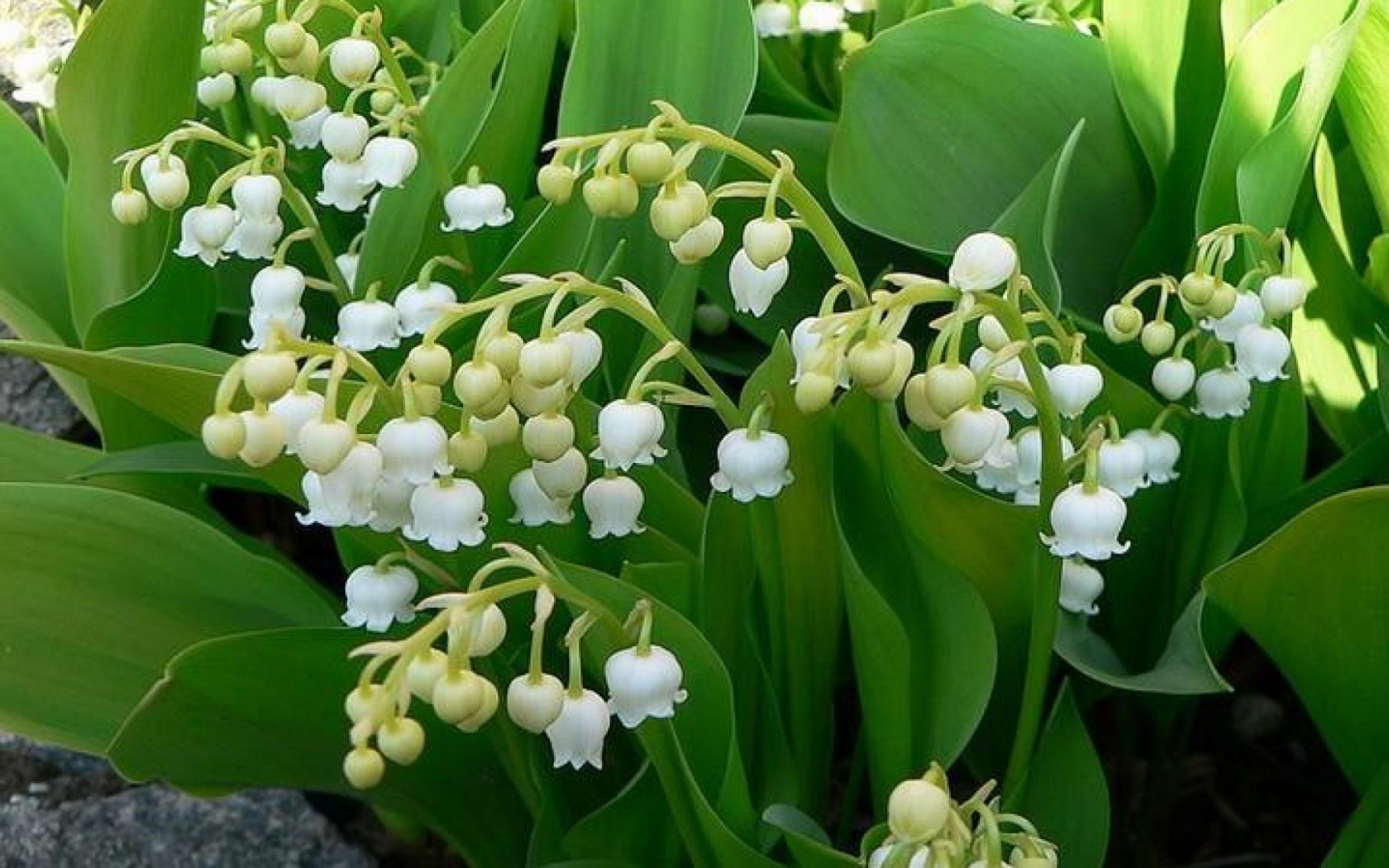 Free Download Lily Of The Valley Wallpaper 73706 Hd Wallpapers