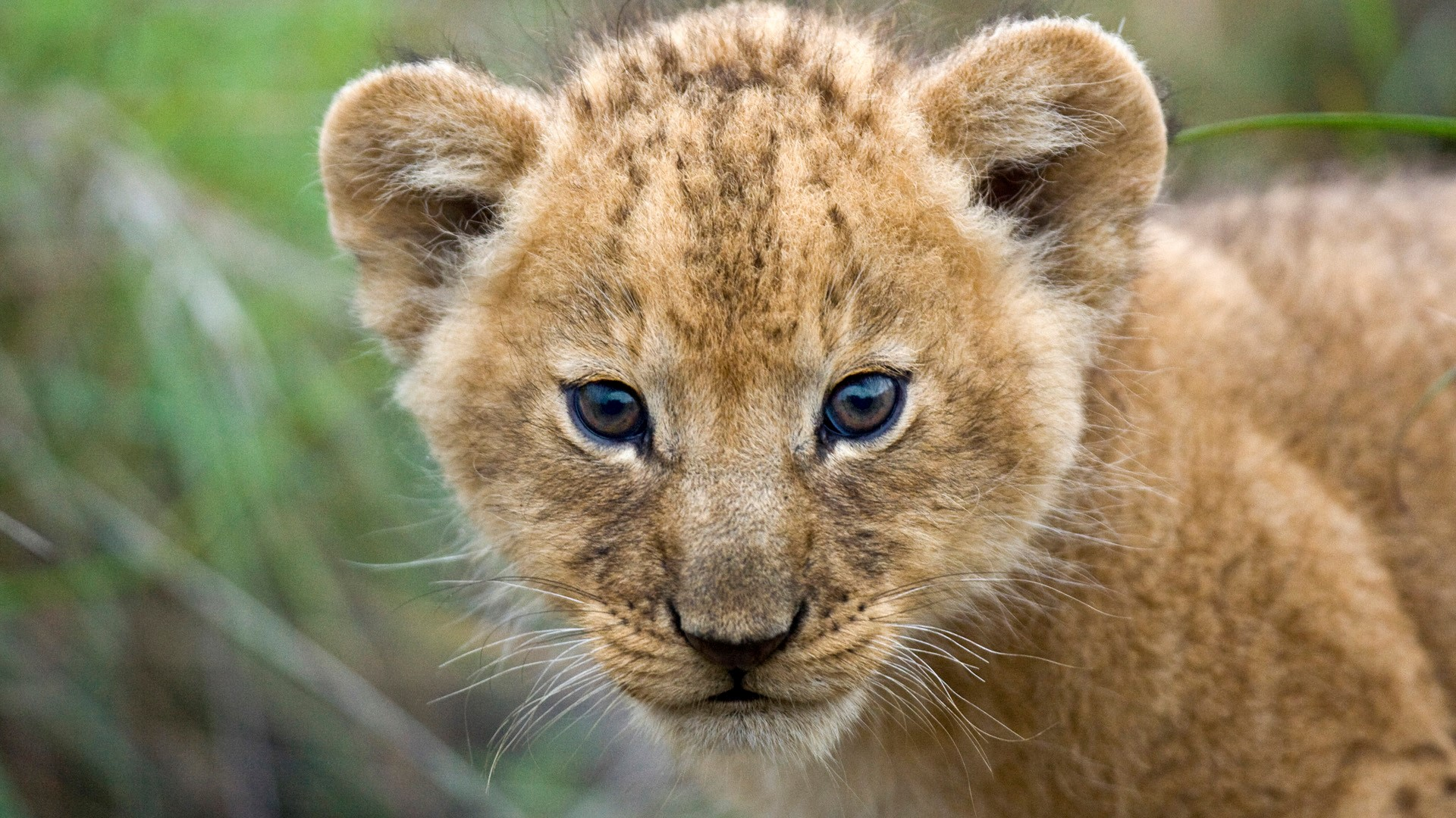 Free Download Beautiful Cute Lion Cub Closeup Face Hd Wallpapers Hd Wallpapers 1920x1080 For Your Desktop Mobile Tablet Explore 66 Lion Cub Wallpaper Lion Wallpaper Hd Cute Lion Cubs
