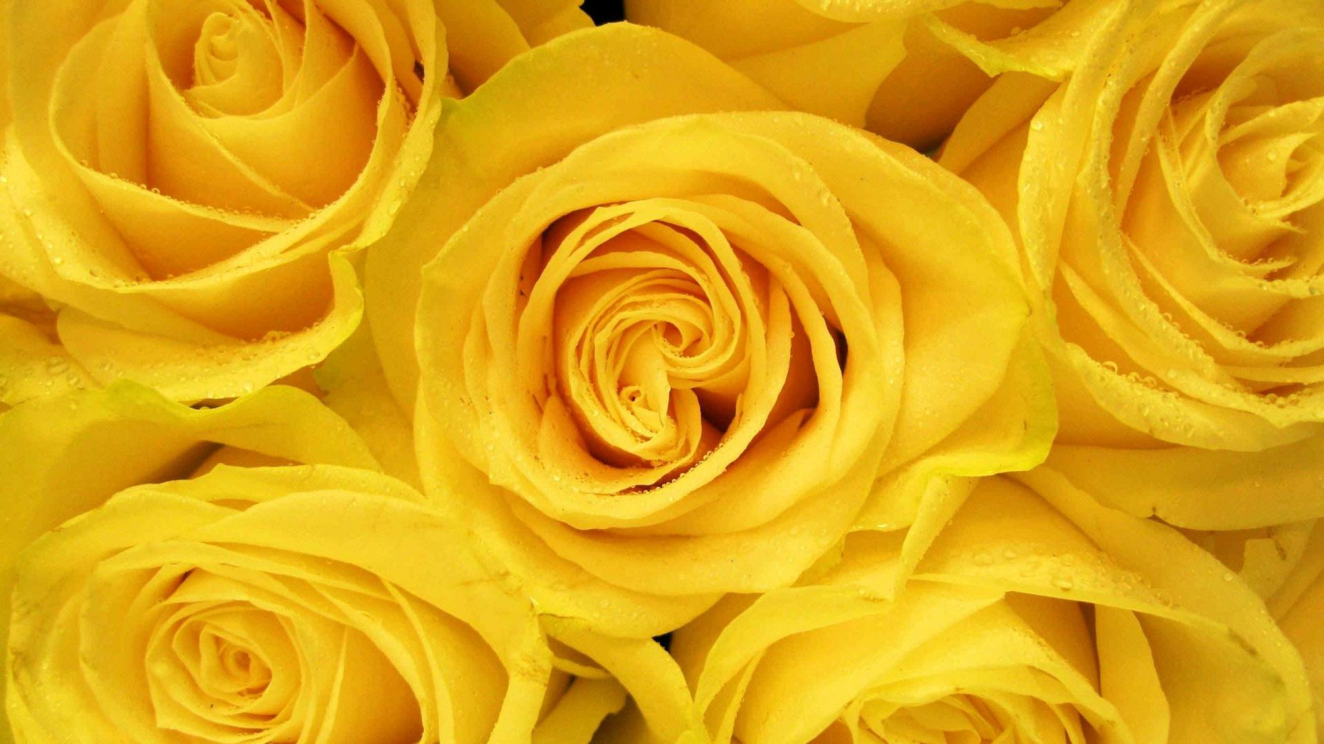 обои желтые розы петлях разновидность занавесей