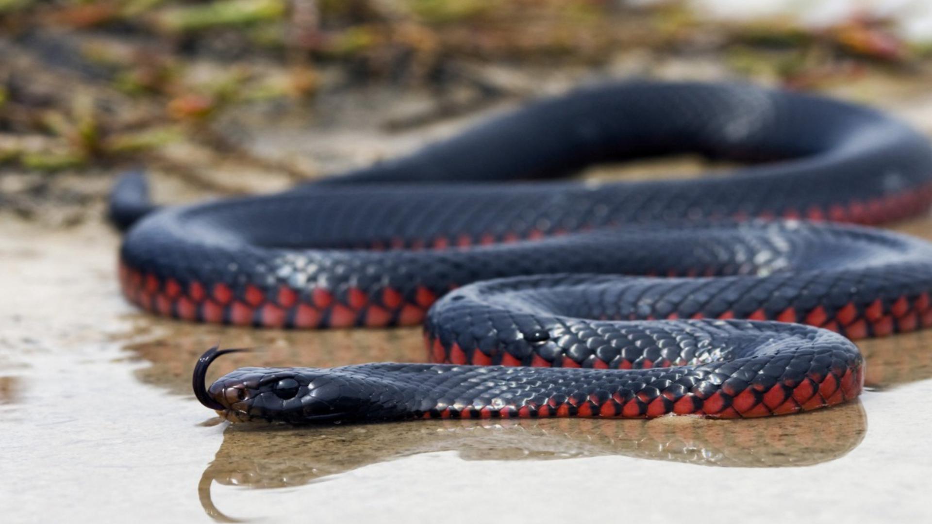 мамба африканская красная змея