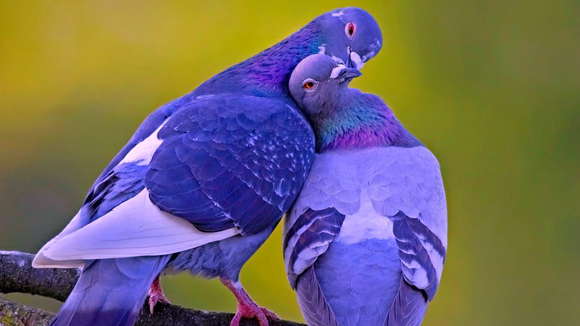 Free Download Love Bird Kissing Hd Wallpapers Rocks 1920x1200 For Your Desktop Mobile Tablet Explore 48 Birds Wallpaper Free Download Parrot Wallpapers Free Download Free Bird Wallpaper Screensavers Beautiful
