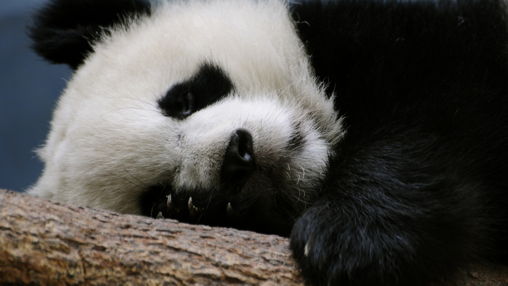 Free Download Panda Che Dorme Sfondi Animali Hd Solosfondicom