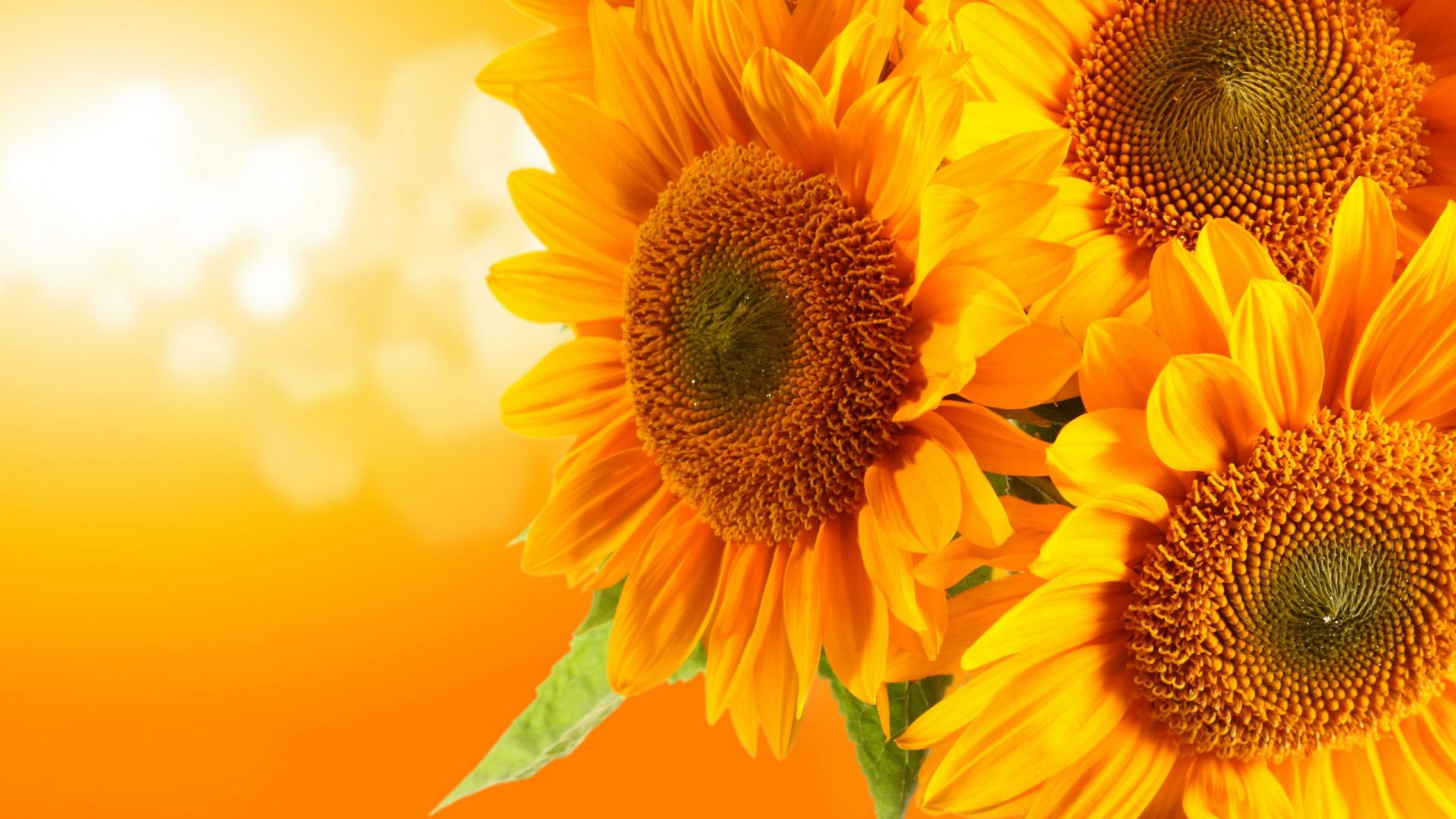 2560x1600px Sunflower Desktop Wallpaper Free
