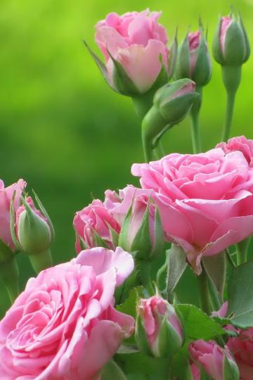 Cute Pink Flowers download wallpaper for iPhone