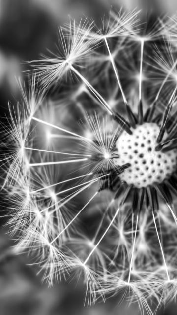 Dandelion Black And White Wallpaper Black White Dandelion