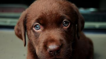 Brown labrador puppy Widescreen Wallpaper   4836