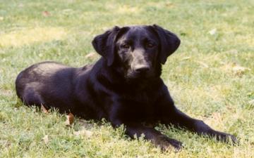 Black Lab   Dogs Wallpaper 13985109
