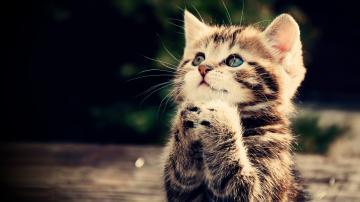 Praying kitten Full HD wallpaper cute animal picture 1080p download
