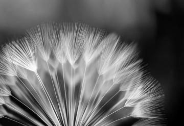 Black and White Dandelion Photo Wallpaper Wall Mural CN 292P eBay
