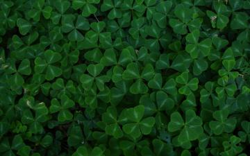 Clovers wallpaper 15714