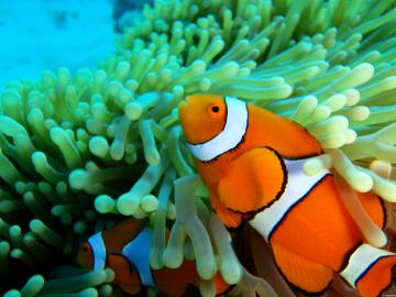 Desktop Wallpaper HD Clown Fish Fish Fish Hd Clownfish