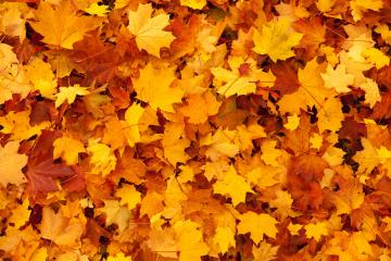 Maple Leaves Background Stock Photo HD   Public Domain Pictures
