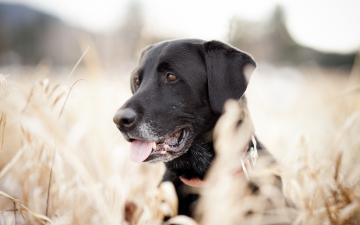 Labrador wallpaper 223907