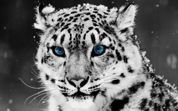 Snow Blue Eye Leopard Wallpapers HD Wallpapers