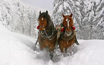 HD animal wallpaper with two brown horses running through the snow
