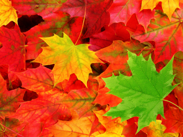 pemandangan Autumn Leaves Wallpaper