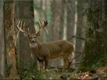 Deer Wallpaper^