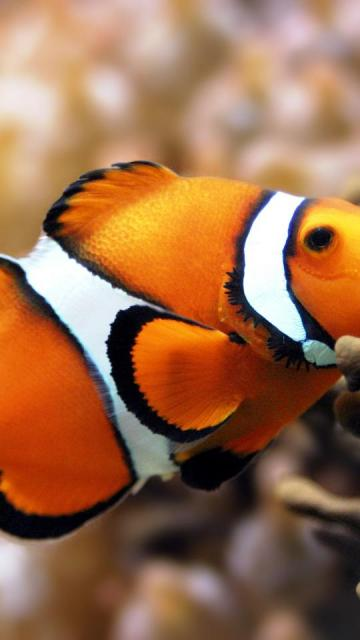 fish clownfish tank clown desktop 3072x2048 wallpaper 290780jpg