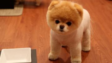 Cute Pomeranian Dog Wallpapers HD Wallpapers